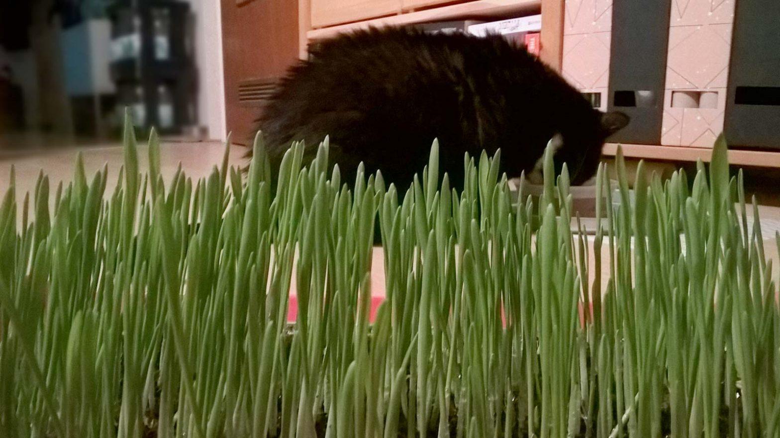 Katzengras selbst ziehen: ein Katzengrasbeet fürs Luz