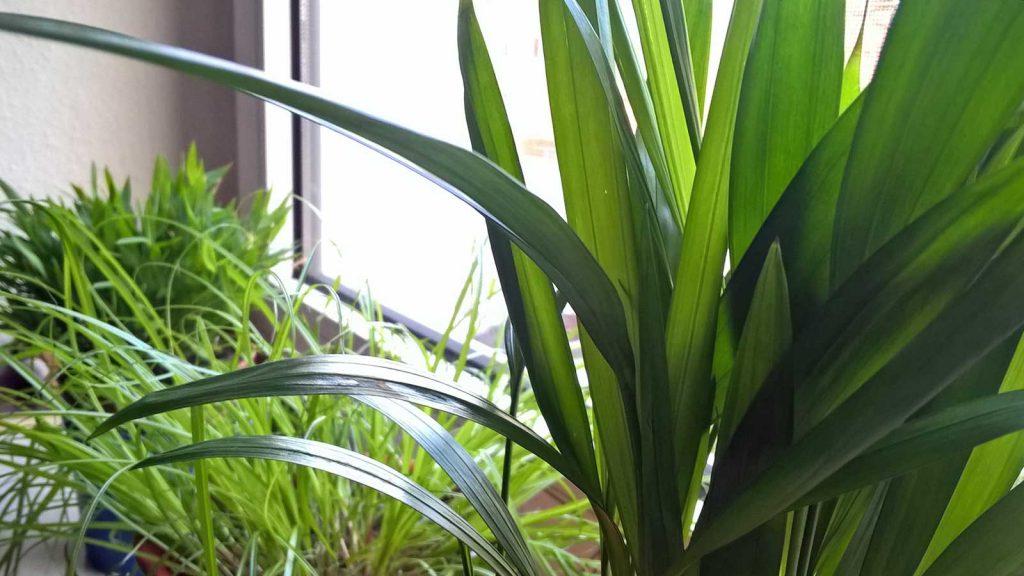 Pflanzen für Katzen: Areca lutescens, Pogonatherum Monika und Katzengras